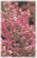 エリカの花