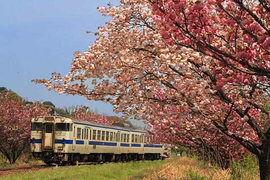 呼野の八重桜