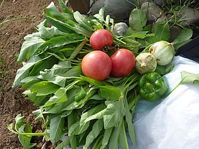 収穫した空芯菜、トマト、茄子 10/2