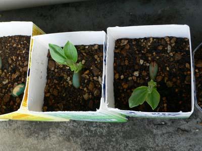発芽した空豆