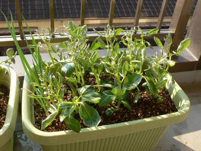 3ヶ月後の空豆の苗1