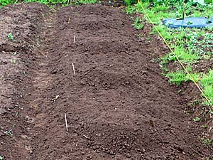 カボチャの畝の準備。小山がいっぱい。