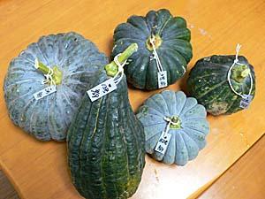 8/29までに収穫したカボチャ 2号、4号、6号、13号、B2号