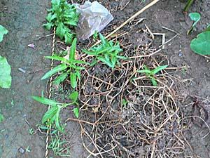 空芯菜 9/23 畑 雑草の山の中から生えている
