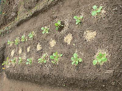 のらぼう菜を植えた白菜の区画