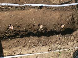 種芋を畑に並べる
