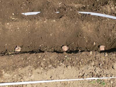 種芋を畑に並べる2