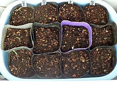 夏野菜の苗作り