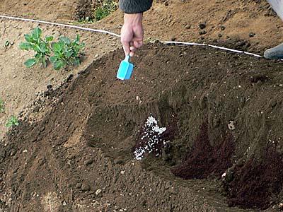 牛糞の上に化成肥料をまく