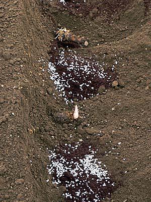 牛糞の上に化成肥料をまいたところ