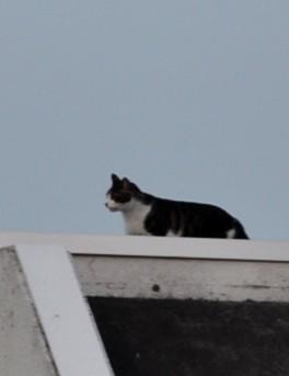 DSC_1927  rooftopcat