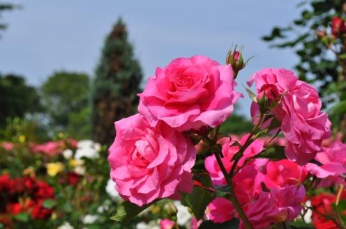 rosegarden pinkrose sml
