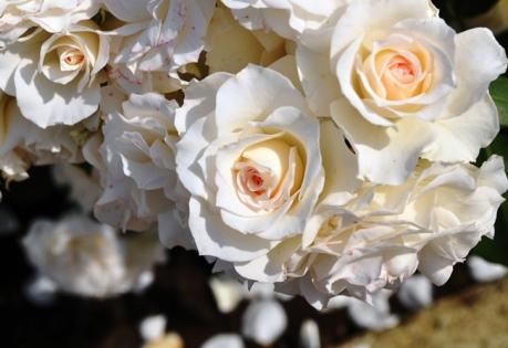 rosegarden whiterose