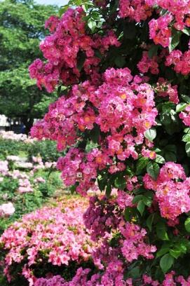 rosegarden arch aml