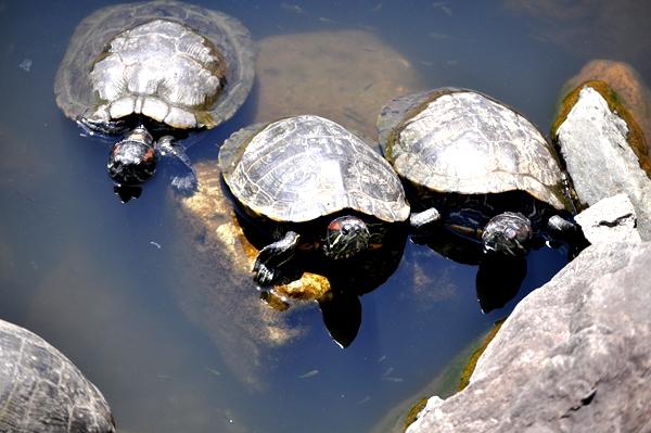 DSC_2264 turtles fmly