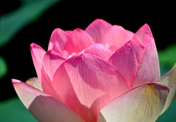 DSC_2266  lotus petals