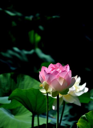 DSC_2247 lotus