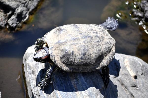 DSC 2259 turtle leg up whl