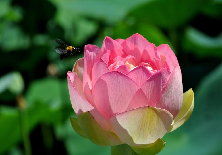 DSC_2274 lotus w bee