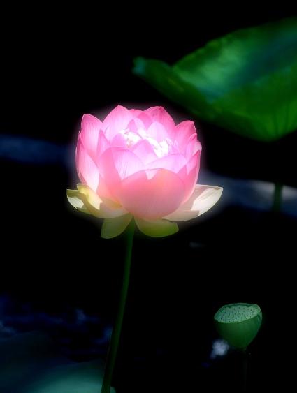 lotus flwr fltrd