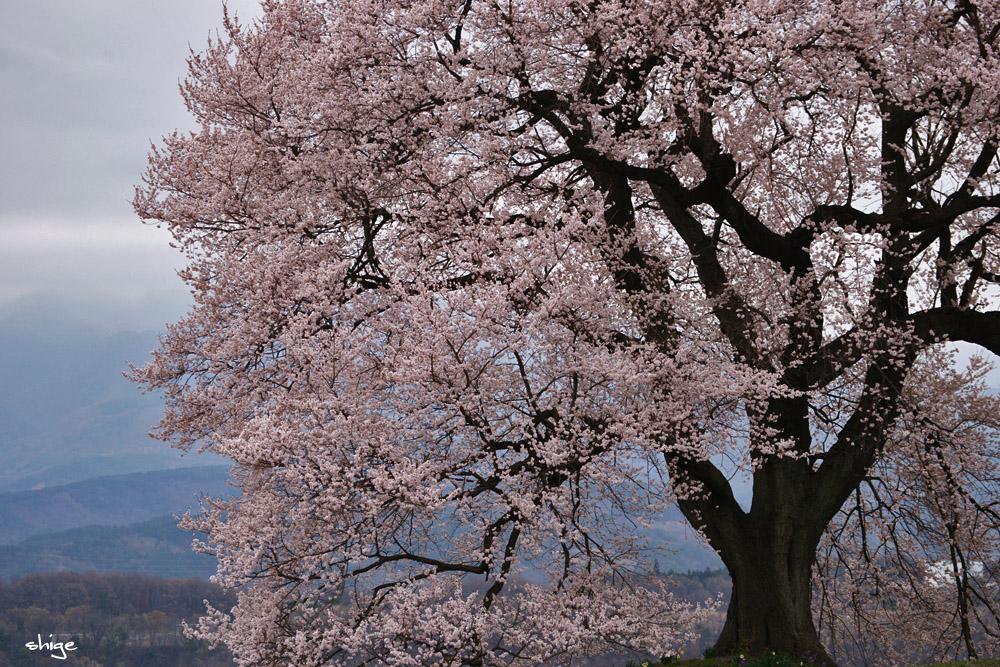 山梨桜-16