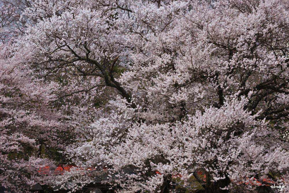 山梨桜-49