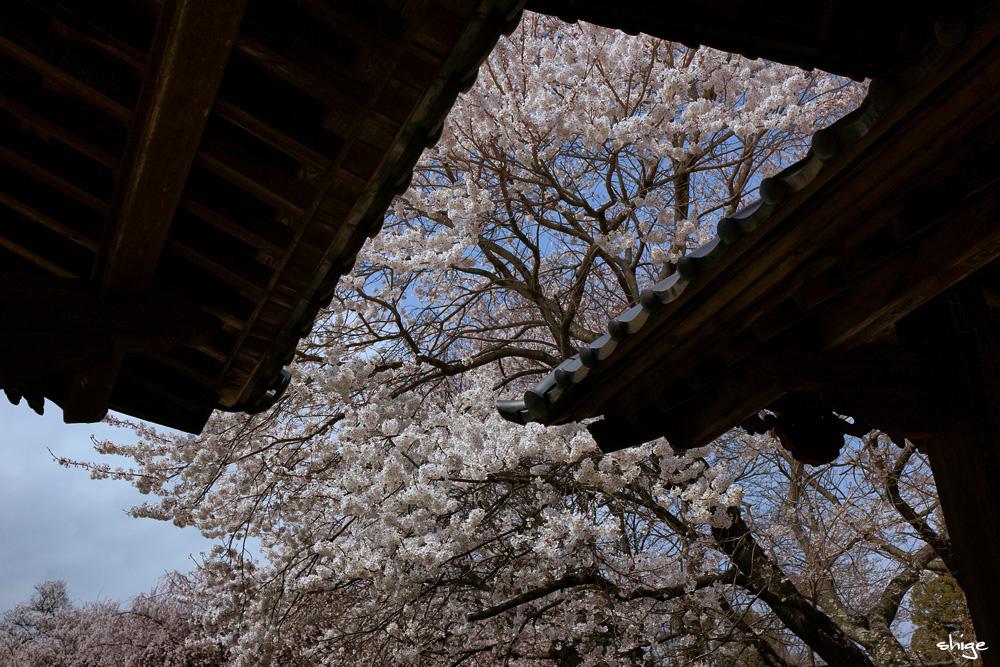 山梨桜-56