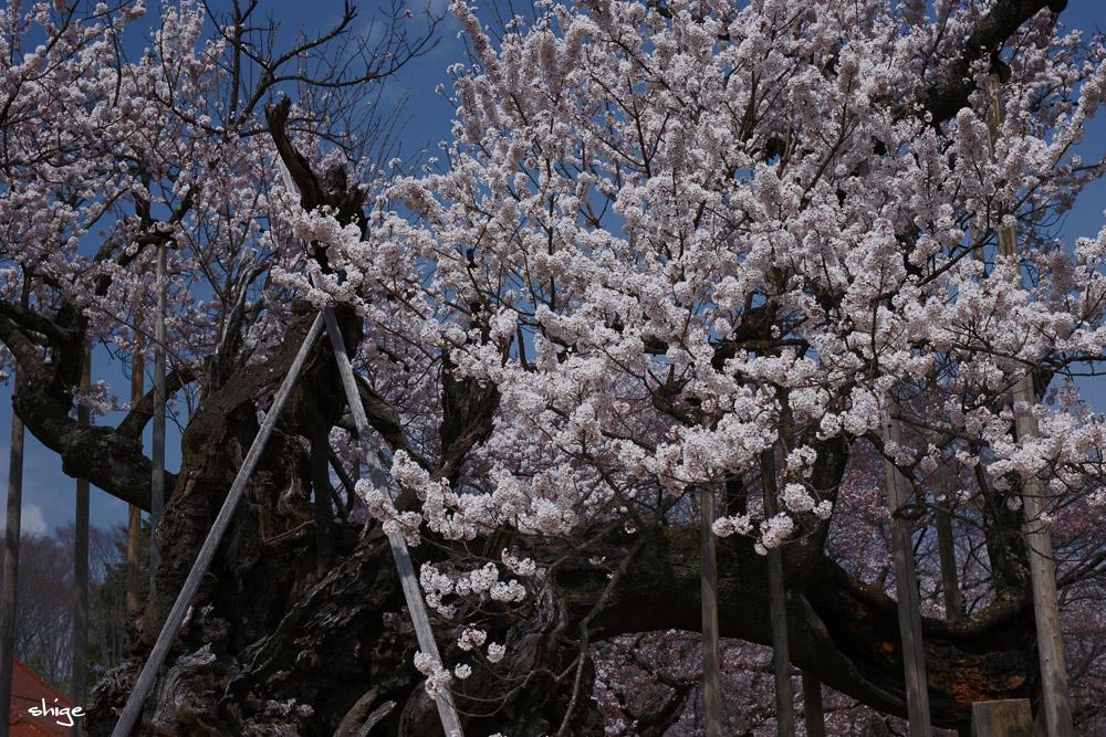 山梨桜-87