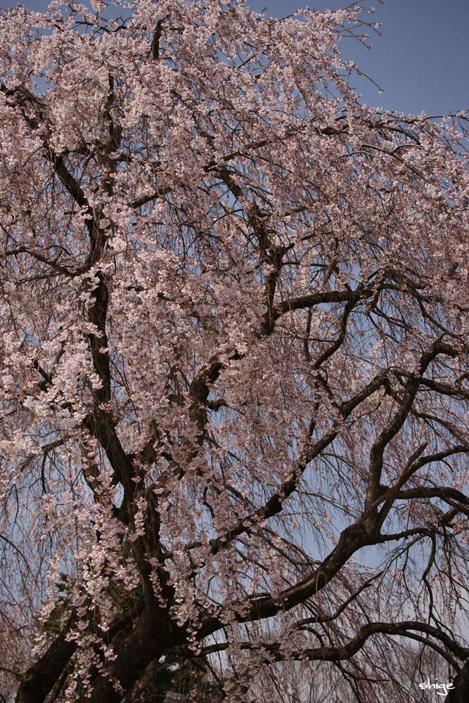 山梨桜-63