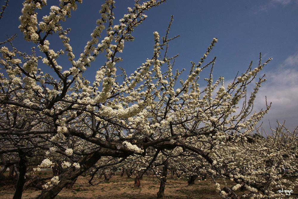 山梨桜-44