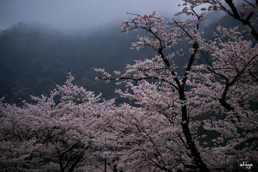 津久井湖桜-2