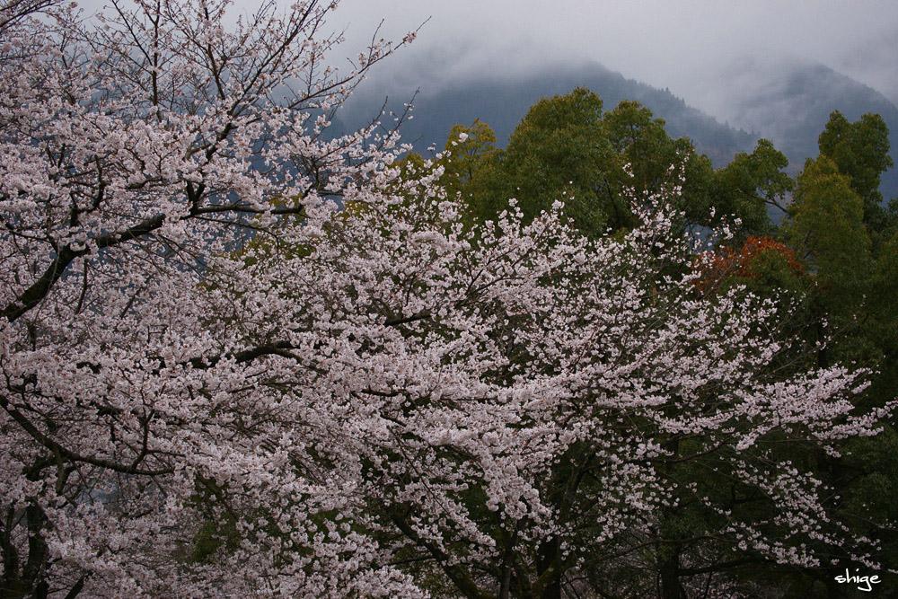 津久井湖桜-61