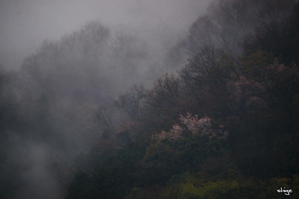 津久井湖桜-26