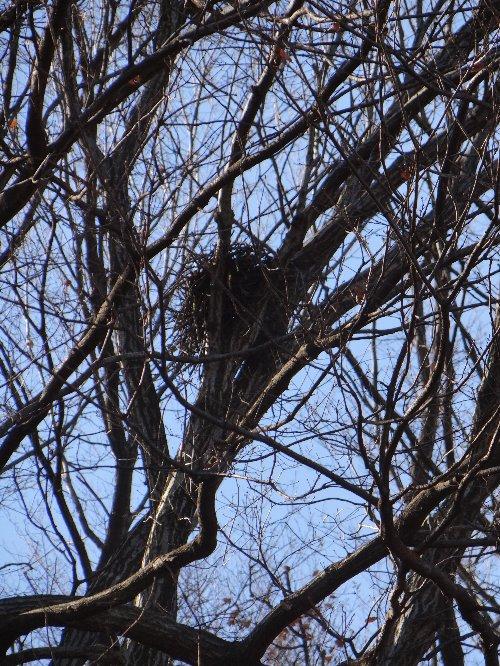 121227 f鳥の巣 径30cmほど