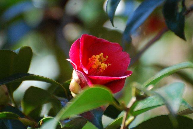 130307 d寒咲藪椿
