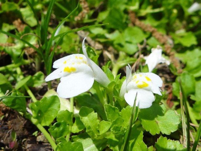 130430 bムラサキサギゴケ白花