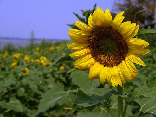 メコンの向日葵