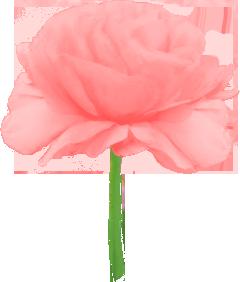 ばら ピンク淡い