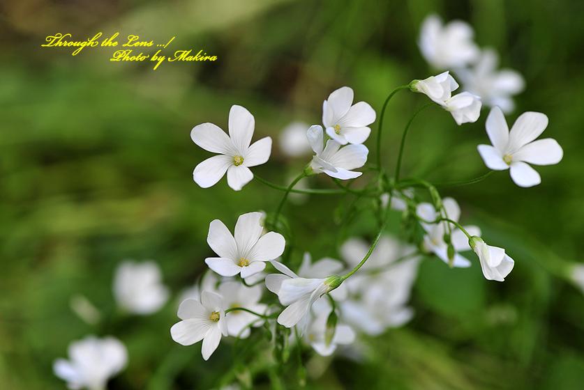 イモカタバミ(白)1