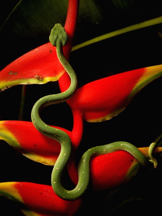 Tropidolaemus subannulatus