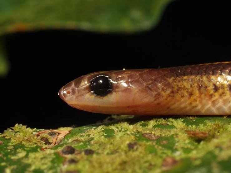Dryocalamus tristrigatus