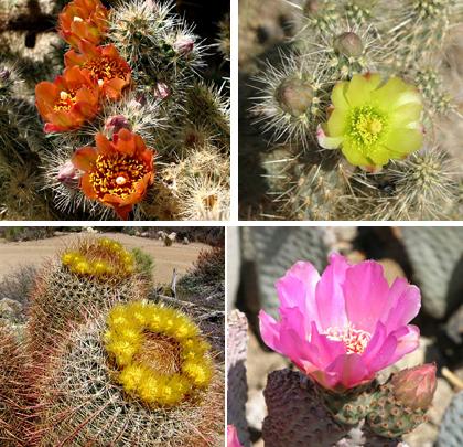 anza borrego cactus flower