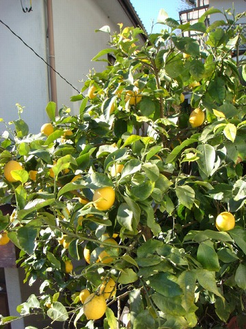 レモンバター1