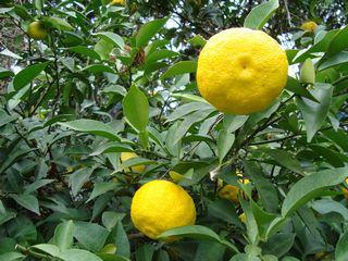 果樹栽培ナビーyuzu-mi02