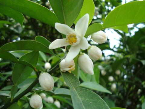 果樹栽培ナビーyuzu-hana-021