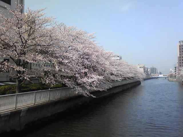 小名木川桜