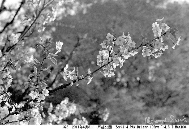 2011年の桜326-1