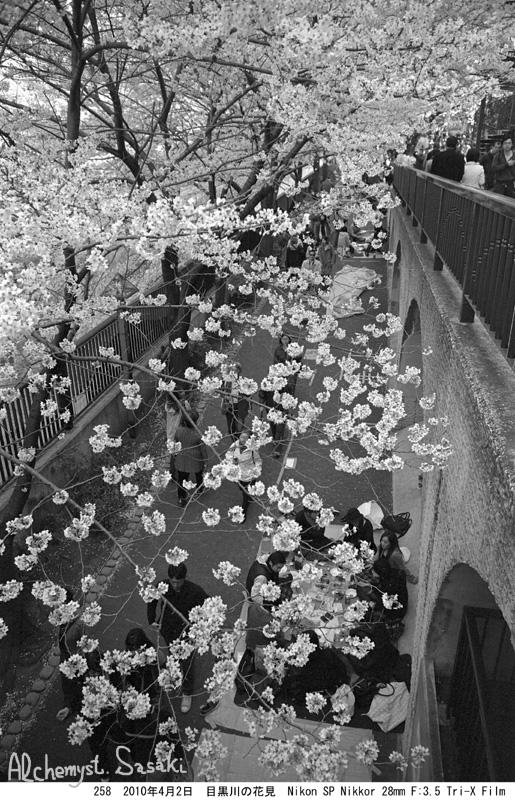 2010年の桜258-13