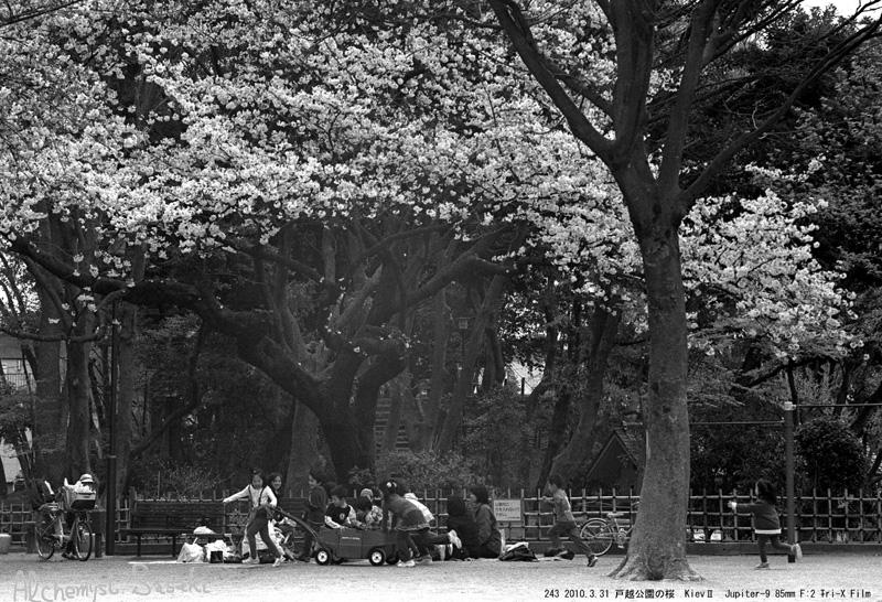 2010年の桜243-8