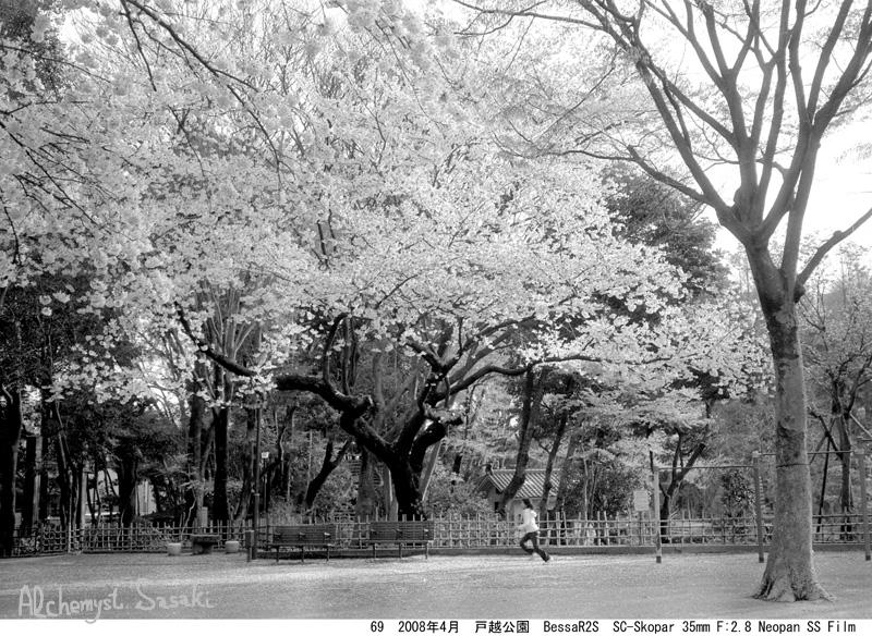 2008年の桜 3